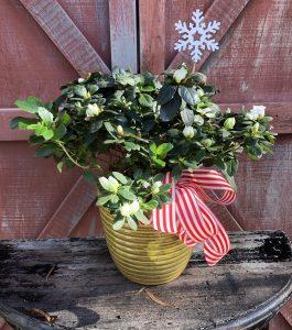 gift-warpped-azalea